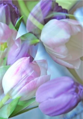 Tulpen, mix, vielfältige Fraben, mehrfachbelichtung